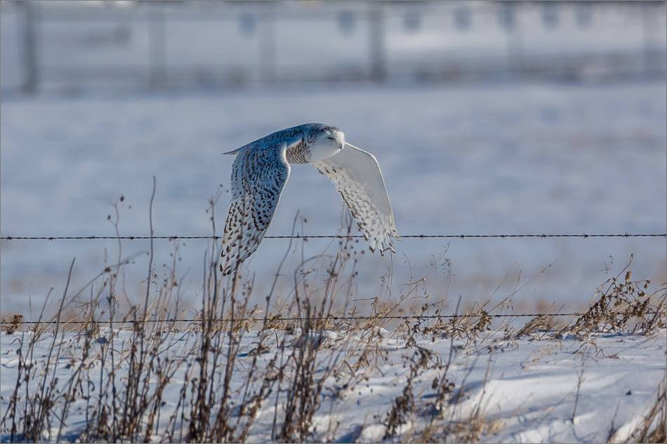 a-snowy-owl-perched-christopher-martin-3742