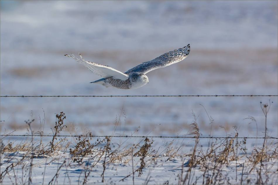 a-snowy-owl-perched-christopher-martin-3748
