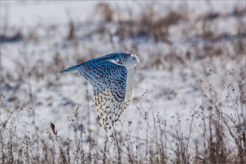 a-snowy-owl-perched-christopher-martin-3769