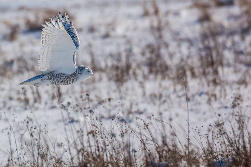 a-snowy-owl-perched-christopher-martin-3770
