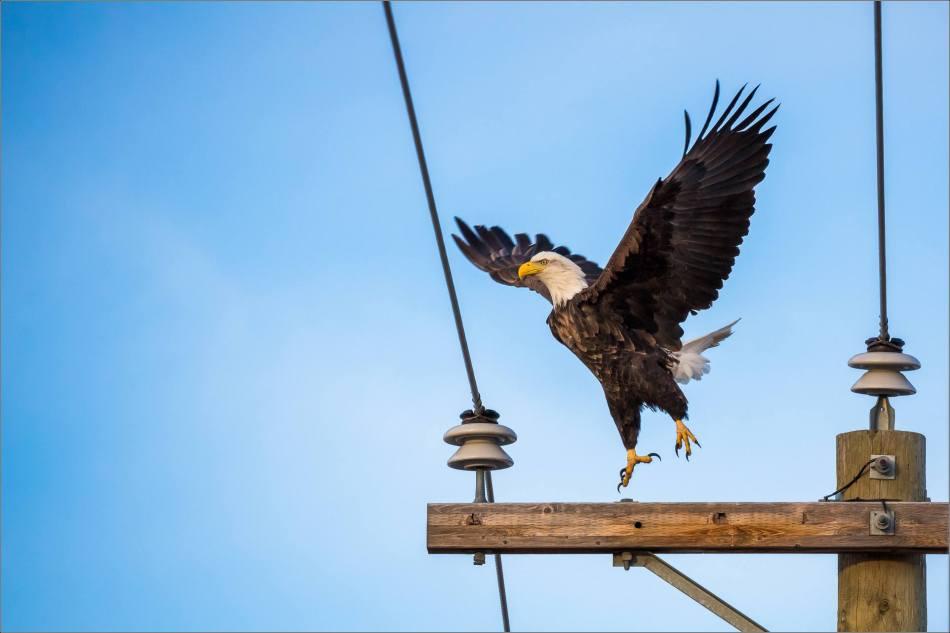 bald-eagle-blue-sky-flight-christopher-martin-3946