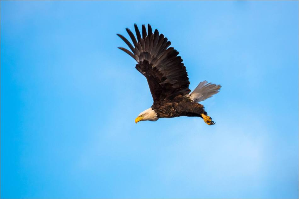 bald-eagle-blue-sky-flight-christopher-martin-3949