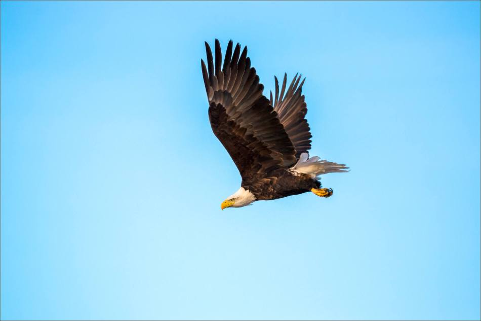 bald-eagle-blue-sky-flight-christopher-martin-3953