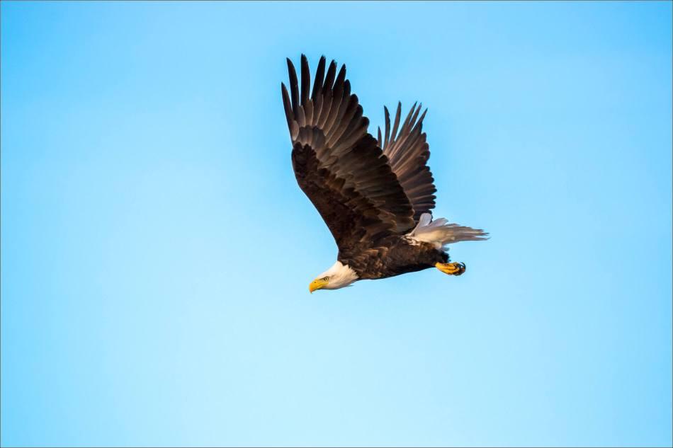 bald-eagle-blue-sky-flight-christopher-martin-3953