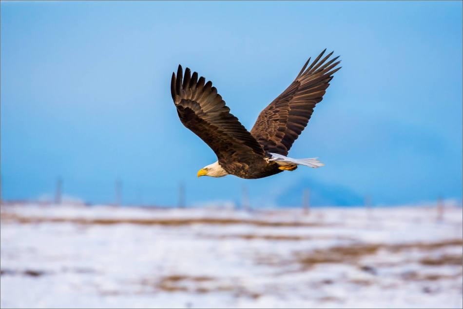 bald-eagle-blue-sky-flight-christopher-martin-3954-2