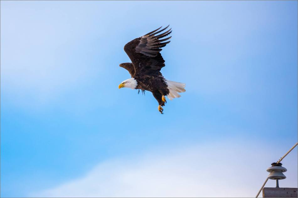 bald-eagle-blue-sky-flight-christopher-martin-3965