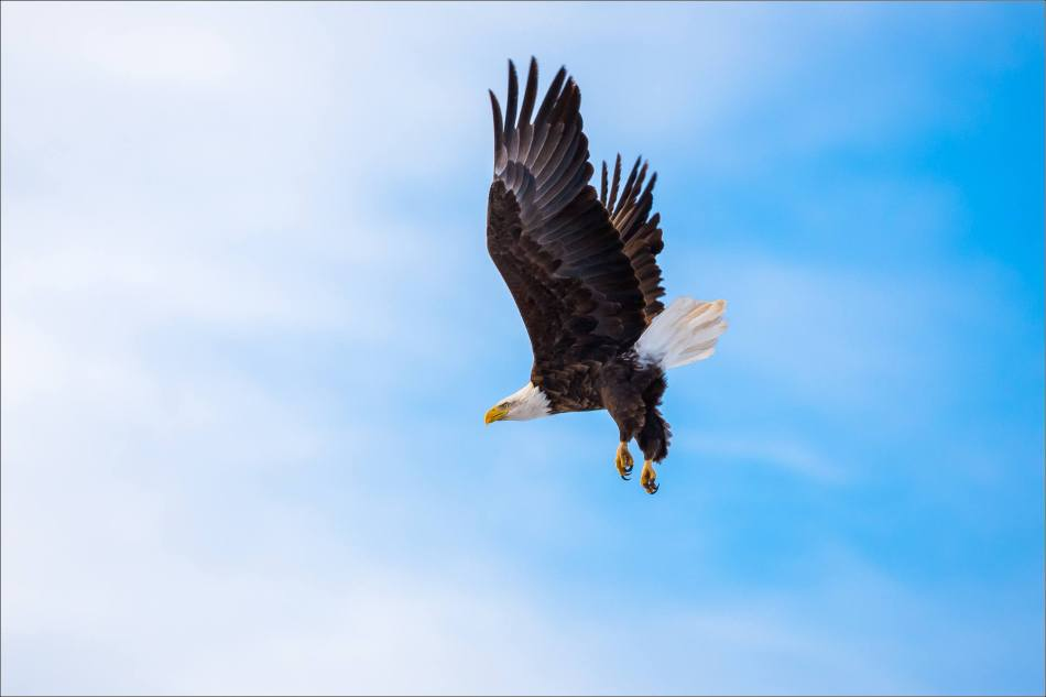 bald-eagle-blue-sky-flight-christopher-martin-3968