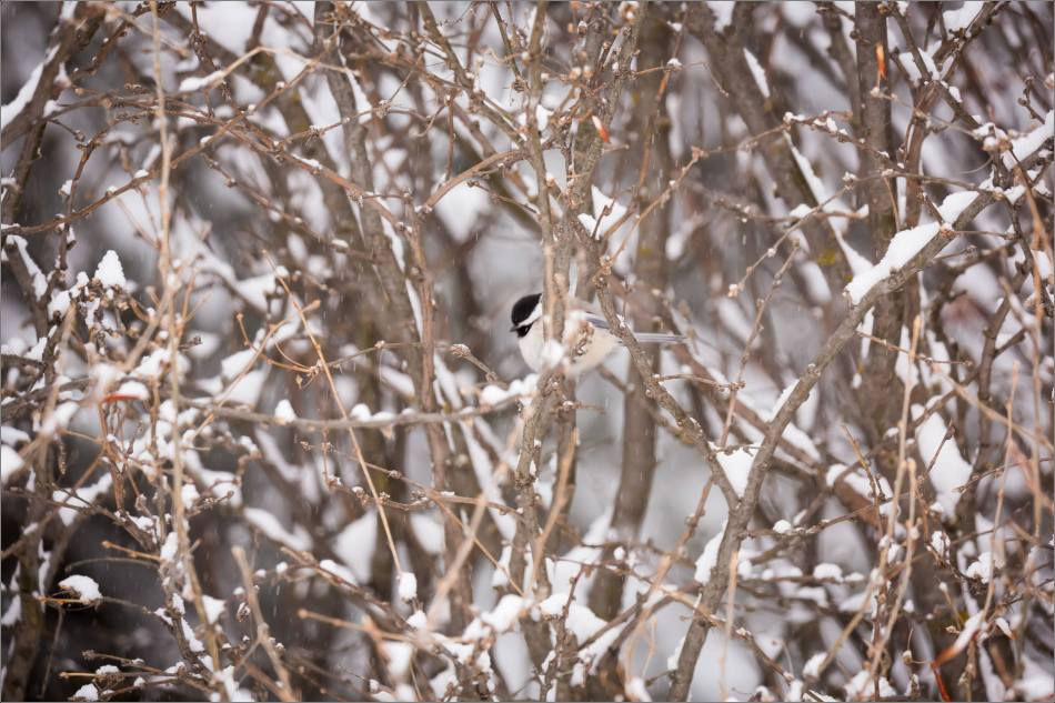 blizzard-chickadee-in-bragg-creek-christopher-martin-2708