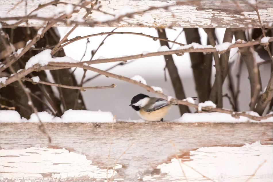 blizzard-chickadee-in-bragg-creek-christopher-martin-2738
