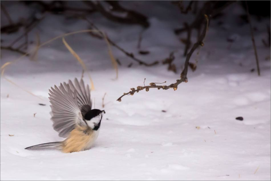 blizzard-chickadee-in-bragg-creek-christopher-martin-2803