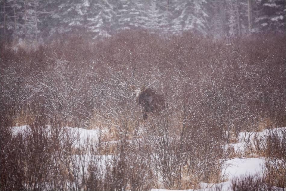 blizzard-moose-in-bragg-creek-christopher-martin-2622