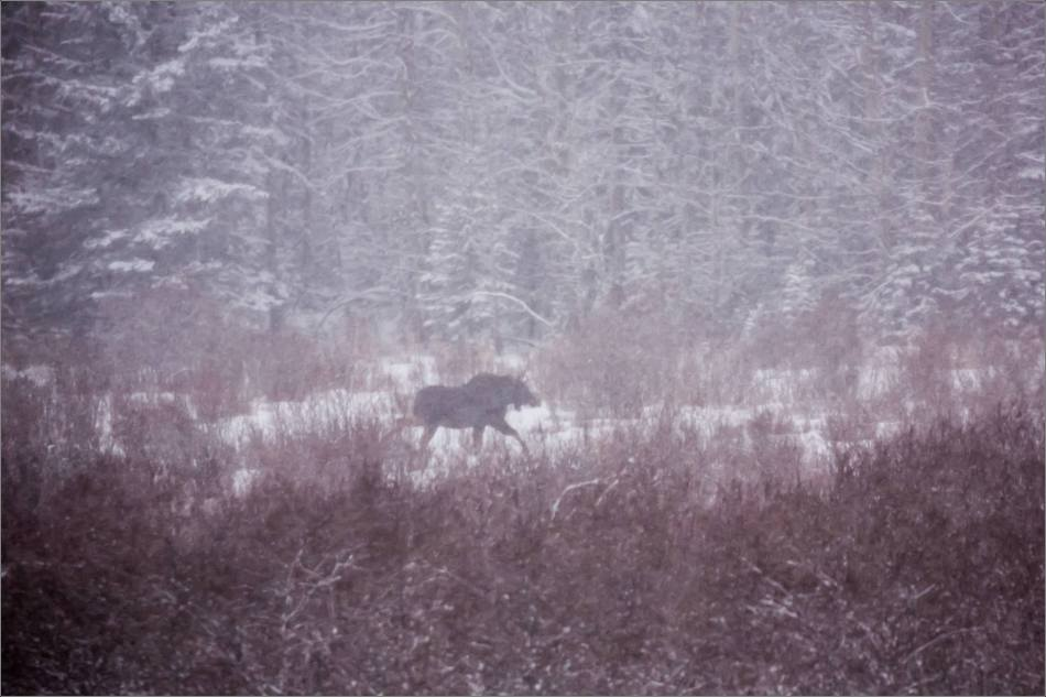 blizzard-moose-in-bragg-creek-christopher-martin-2656