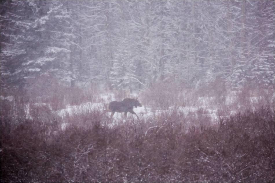 blizzard-moose-in-bragg-creek-christopher-martin-2656