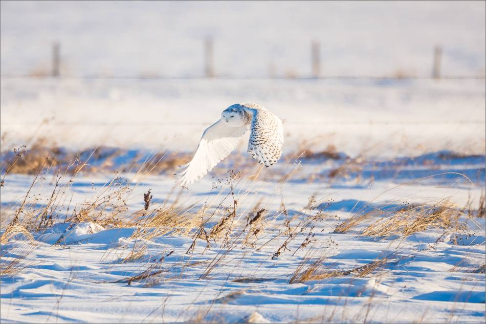 snowy-owl-north-of-langdon-christopher-martin-100