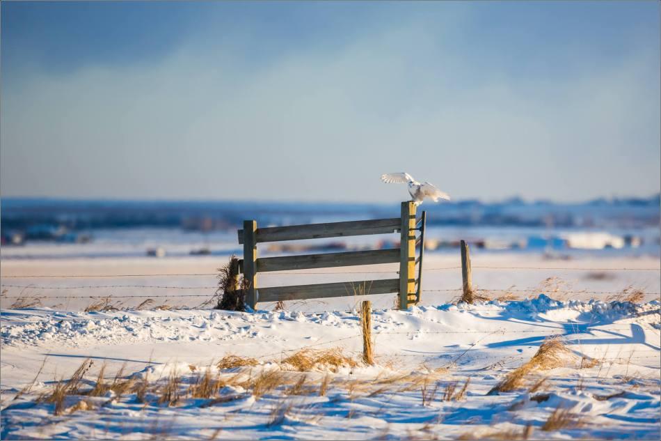 snowy-owl-north-of-langdon-christopher-martin-105