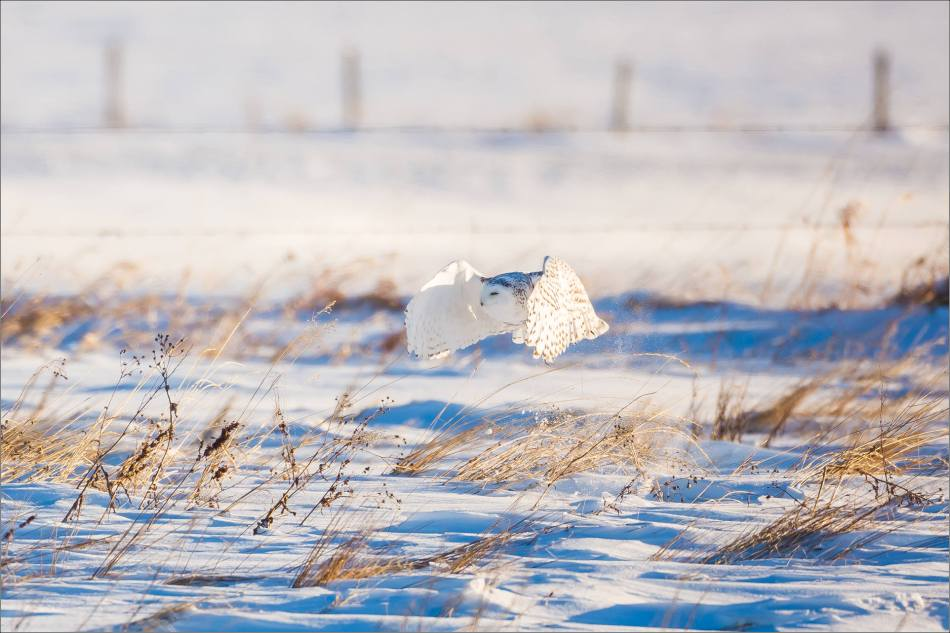 snowy-owl-north-of-langdon-christopher-martin-3307