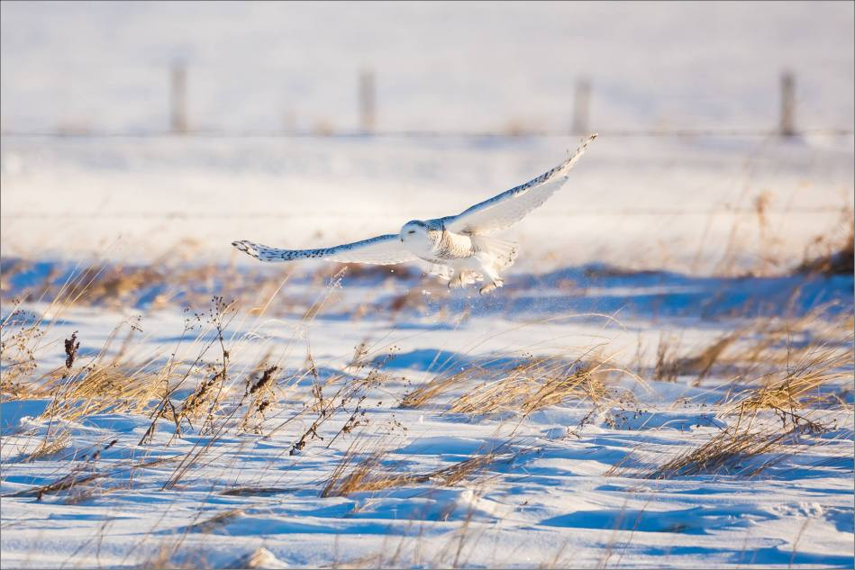snowy-owl-north-of-langdon-christopher-martin-3308
