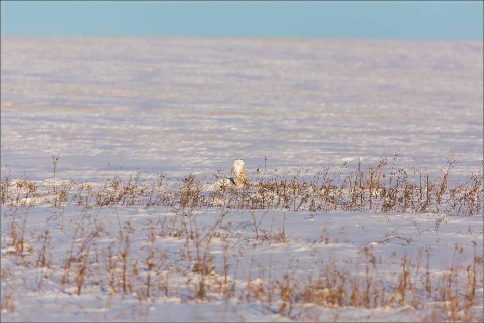 snowy-owl-north-of-langdon-christopher-martin-78