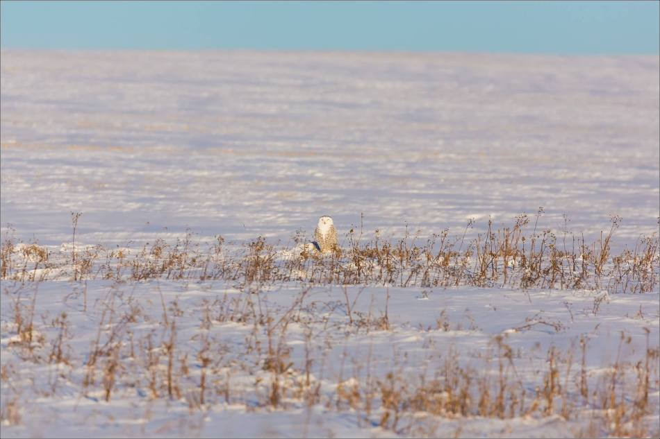 snowy-owl-north-of-langdon-christopher-martin-78