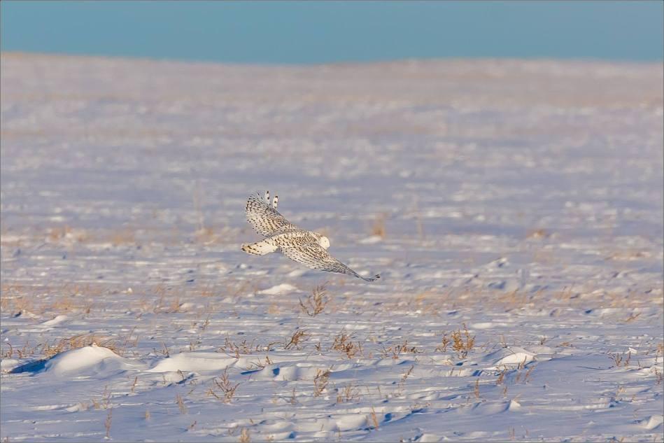 snowy-owl-north-of-langdon-christopher-martin-85-3