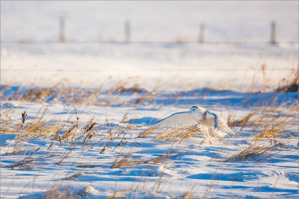 snowy-owl-north-of-langdon-christopher-martin-98