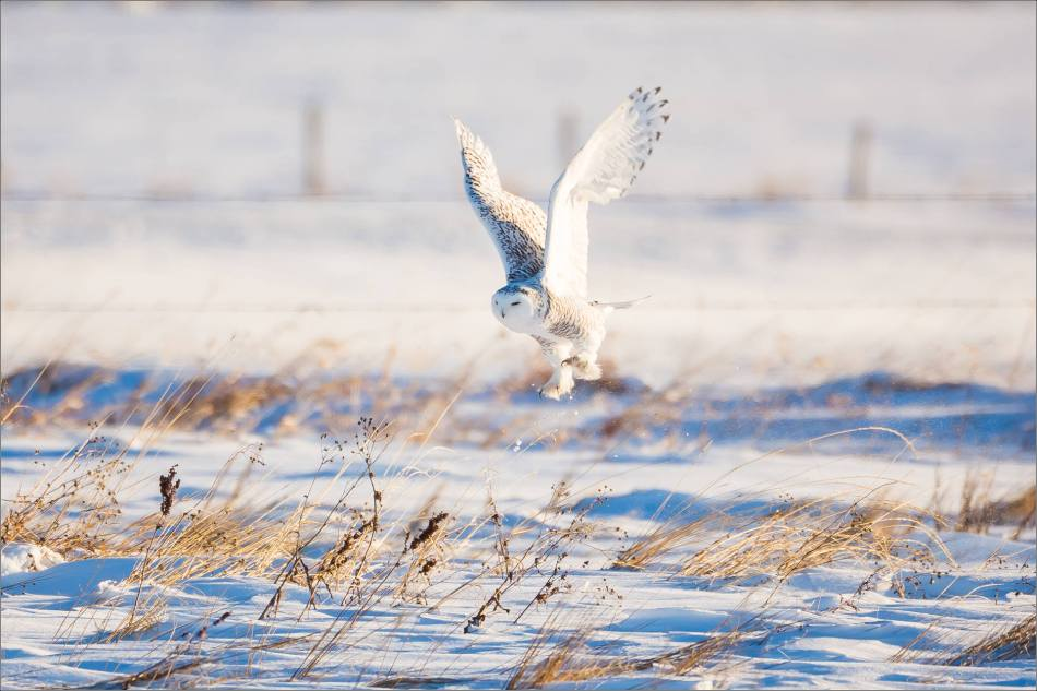 snowy-owl-north-of-langdon-christopher-martin-99
