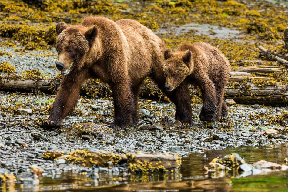 Mother and cub traveling along the Khutzeymateen Inlet towards the estuary
