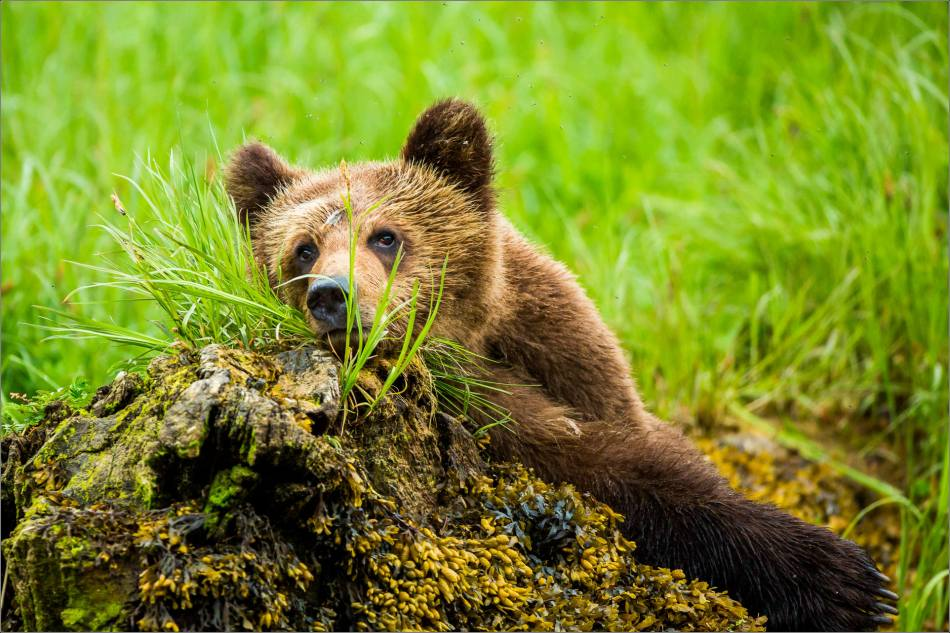 grizzlies-for-world-wildlife-day-christopher-martin-3176