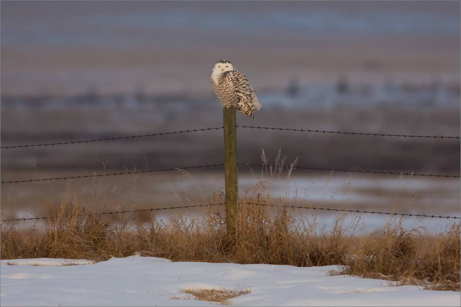 snowy-owl-in-the-sunshine-christopher-martin-5832