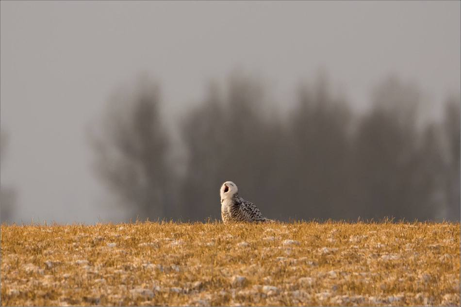 snowy-owl-in-the-sunshine-christopher-martin-5876
