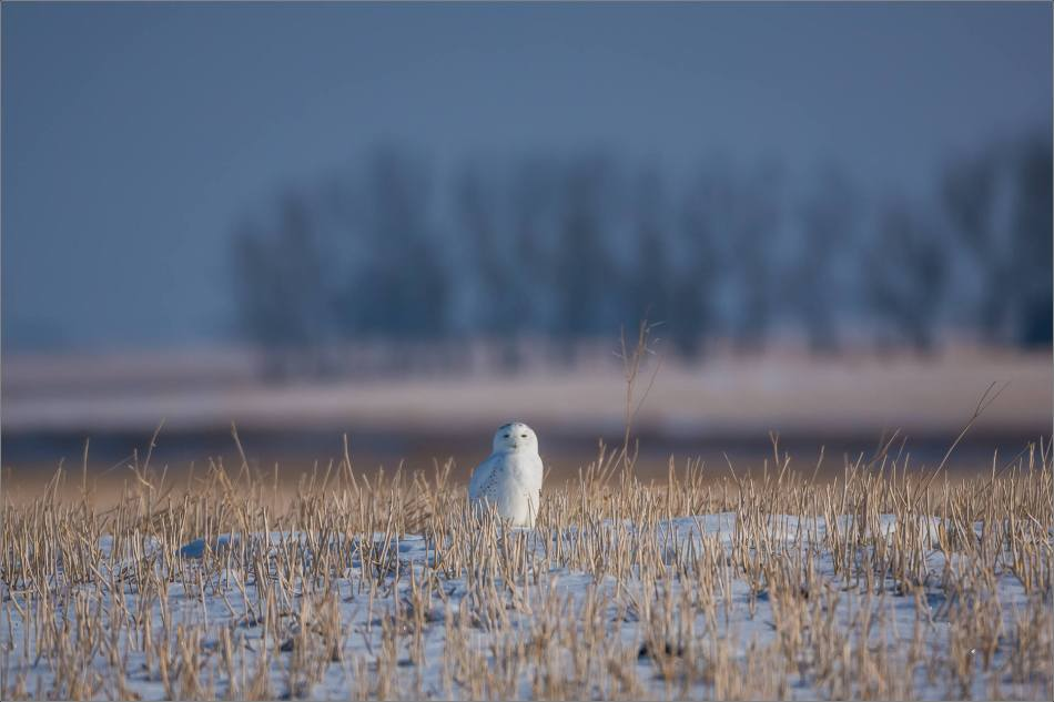 snowy-owl-in-the-sunshine-christopher-martin-5971