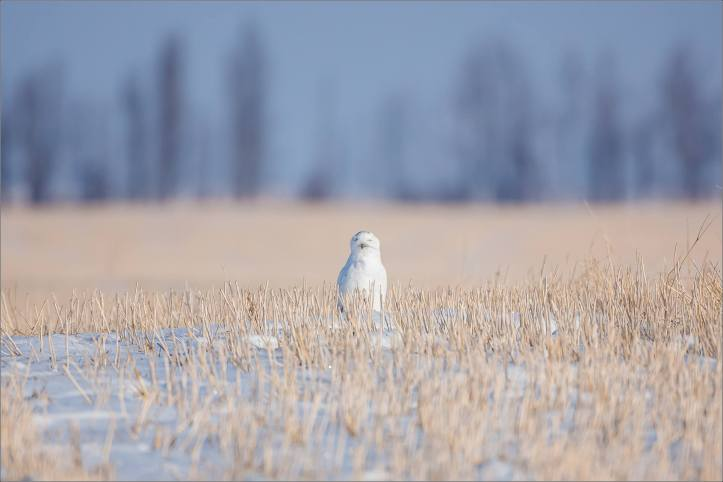 snowy-owl-in-the-sunshine-christopher-martin-5994
