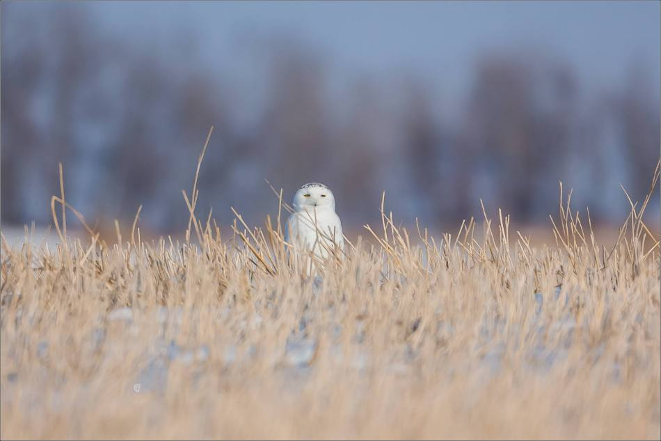snowy-owl-in-the-sunshine-christopher-martin-6011