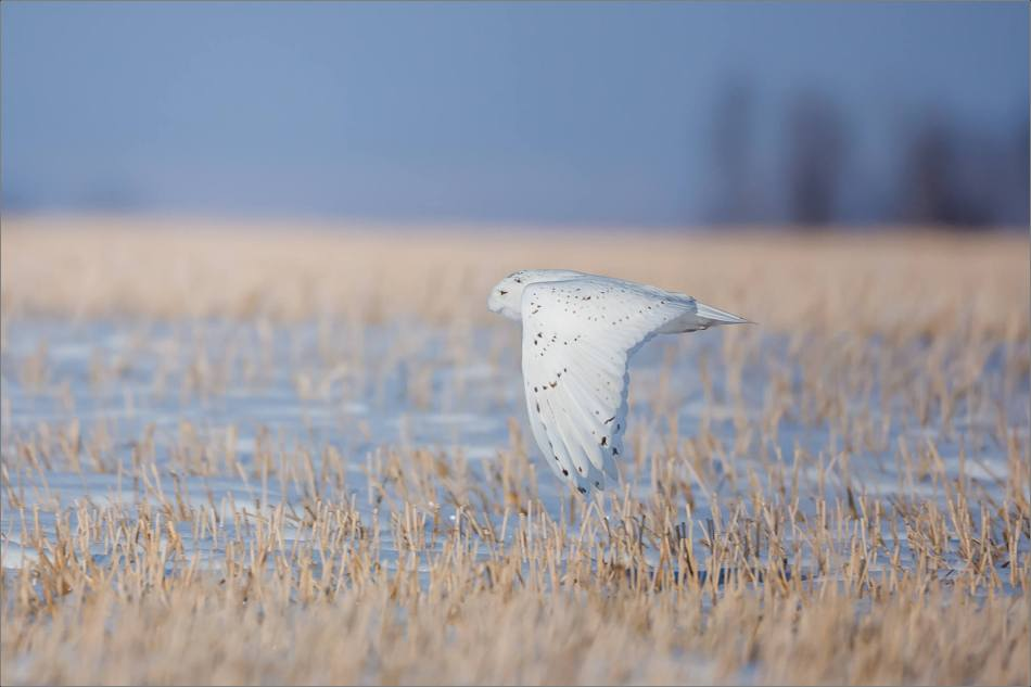 snowy-owl-in-the-sunshine-christopher-martin-6029