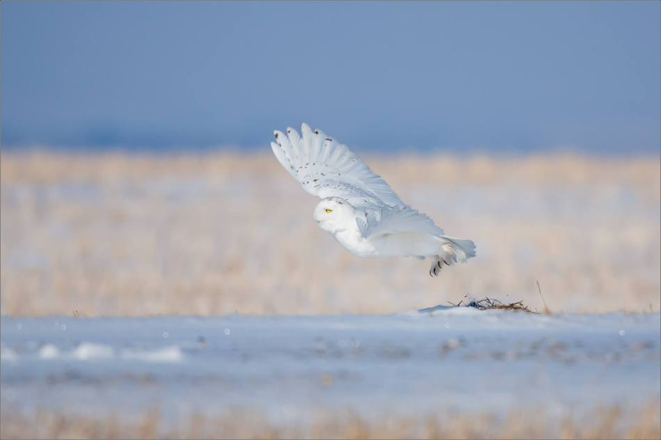 snowy-owl-in-the-sunshine-christopher-martin-6084