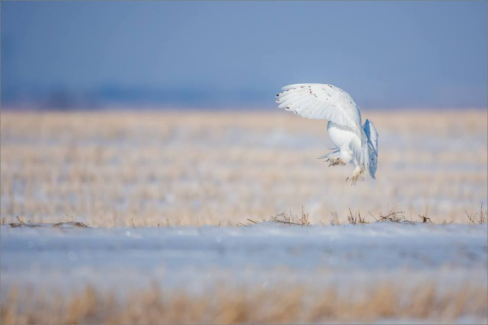 snowy-owl-in-the-sunshine-christopher-martin-6152