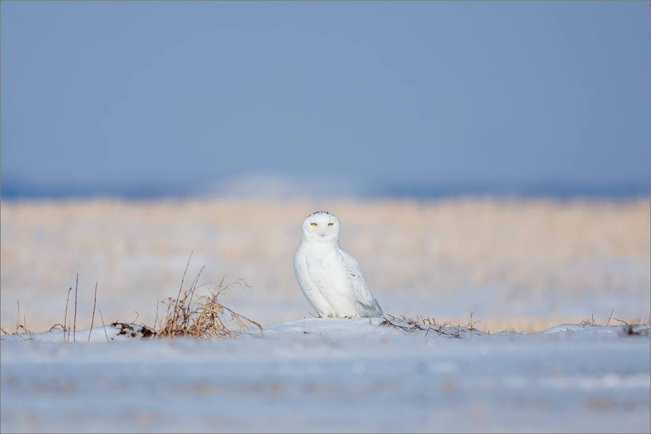 snowy-owl-in-the-sunshine-christopher-martin-6165