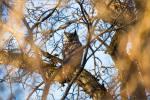 Great horned owl – © ChristopherMartin-9154