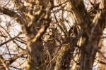 Great horned owl – © ChristopherMartin-9215