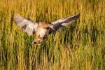 Mallard duck inbound – © ChristopherMartin-7988