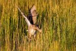 Mallard duck inbound – © ChristopherMartin-7989