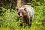 Berry eating grizzly in Kananaskis – © ChristopherMartin-3362