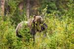 Berry eating grizzly in Kananaskis – © ChristopherMartin-3599