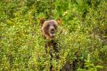 Berry eating grizzly in Kananaskis – © ChristopherMartin-3962