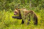 Berry eating grizzly in Kananaskis – © ChristopherMartin-3985
