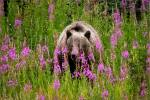 Grizzly in Kananaskis fireweed – © ChristopherMartin-0460