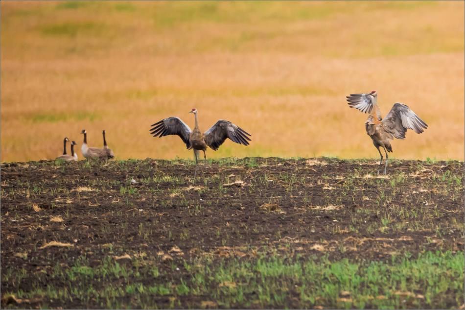 Sandhill crane dancing - © Christopher Martin-2992