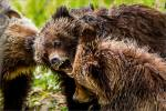 Baby bear bites – © ChristopherMartin-9724