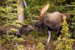 A Moose in Kananaskis – © ChristopherMartin-9342