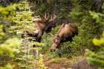 Moose in Kananaskis – © ChristopherMartin-9246
